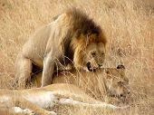 Lion Procreating