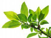 Постер, плакат: Ветка с зелеными листьями изолированные