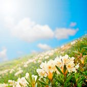wildflowers. gift card.  mountain meadow field of white flowers against the sky. Rhododendron caucas
