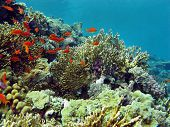 coral reef with great fire coral and exotic fishes anthias in red sea