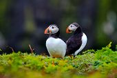Photo of a pair of atlantic puffins (Fratercula arctica) standing on a cliff edge.