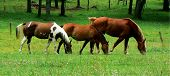 picture of cade  - Three horses side by side - JPG