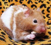Hamster Sírio, comendo uma porca brasileira