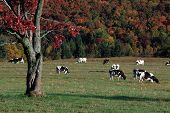 stock photo of pasture  - Holstein cows grazing in a pasture on a beautiful autumn day - JPG