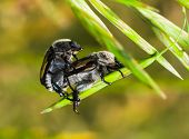 Brown Beetles On A Blade Of Grass