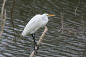 Perching Egret