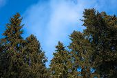 Conifers Against Blue Sky