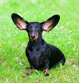 Pedigree Dachshund