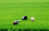 Working in the rice field, Mekong Delta, Vietnam
