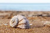 Shell Rapana Against The Sea