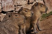 Captivated Capybaras