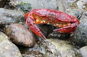 Red Rock Crab at Low Tide