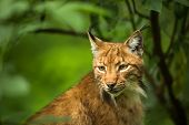 stock photo of nocturnal animal  - Eurasian Lynx  - JPG