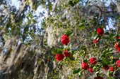 Red Roses On Spanish Moss