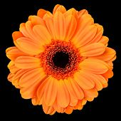 Orange Gerbera Flower Isolated On Black