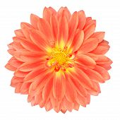 Rote Ringelblume Gerbera Blume Isolated On White