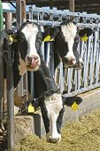 Three Holstein Cows