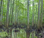 picture of swamps  - A rainy and misty day among the decay cypress trees knees and swamp of Congaree National Park in South Carolina - JPG