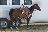 image of western saddle  - A saddled bay rodeo horse cools off while tied to its trailer - JPG