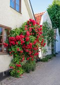 Swedish Town Visby, Famous For Its Roses