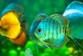 image of sea fish  - a tropical discus fish on green background - JPG