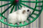 picture of hamster  - little hamster running in a wheel and cage - JPG