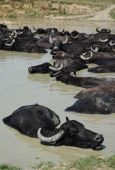 stock photo of wallow  - Water buffalo wallow in a pool of mud at a buffalo reserve in Hungary - JPG