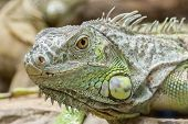 Closeup Portrait Of A Green Iguana (iguana Iguana)