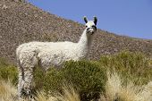 Lama shot in Bolivia