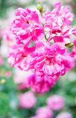 stock photo of climbing roses  - Branch with pink roses in the summertime garden