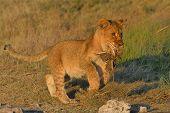 Lion cub killing grass tuft