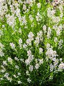 White Flowering Lavender