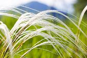 Feather Grass In The Steppe