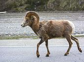 A big horn sheep ram in Jasper, Alberta