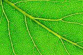 structure of leaf natural background