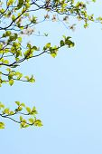foto of dogwood  - Fresh leaves and branches of dogwood  - JPG