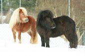 Two Shetland Ponies Standing Together In Winter