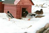 Some Ducks With Little Building In Winter