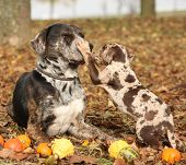 stock photo of catahoula  - Amazing Louisiana Catahoula dog with adorable puppy in autumn - JPG