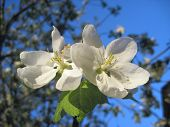 Apple Blossom Flowers