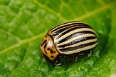 pic of potato bug  - A close - JPG