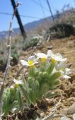 image of xeriscape  - closeup of white desert flowers - JPG