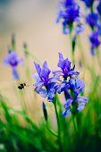 Iris and bee