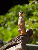 Meerkat Sitting And Watching Around