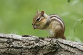 image of chipmunks  - Eastern Chipmunk  - JPG
