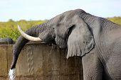 elephant ,kruger park,drinking,nature
