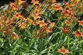 Daylily (Orange)