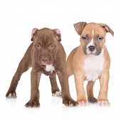 foto of american staffordshire terrier  - american pit bull and staffordshire terrier puppies on white - JPG