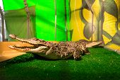 stock photo of crocodiles  - Crocodiles in terrarium - JPG