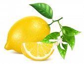 Vector illustration of fresh lemons with leaves and lemon blossom.